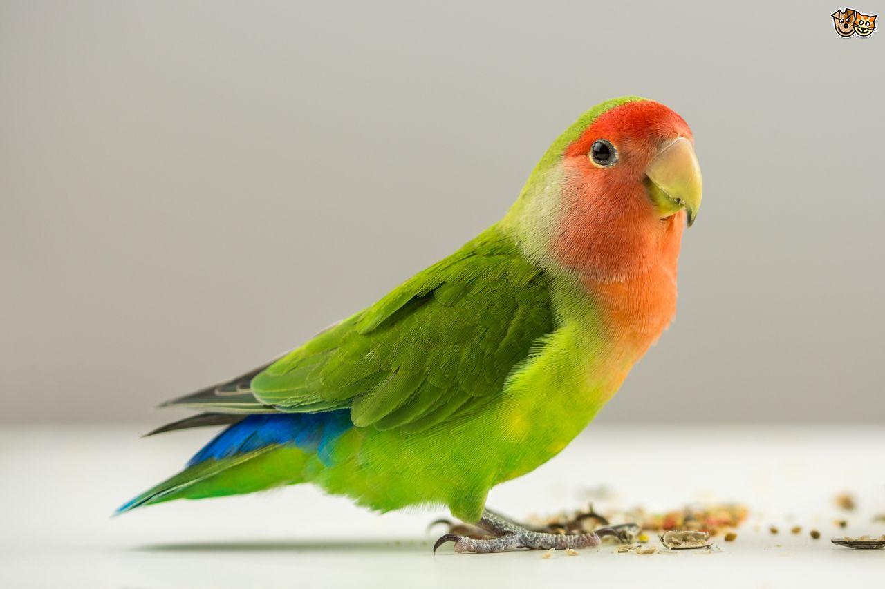 African Grey Parrot Diet