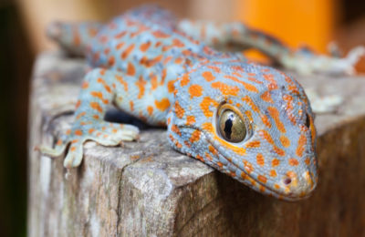 What do geckos eat and drink