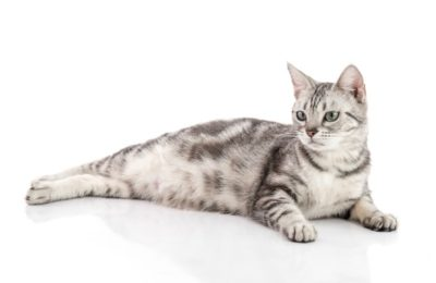 Which signs indicate the pregnancy of a cat