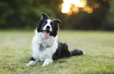 Border collie: The intelligent and hardworking dog