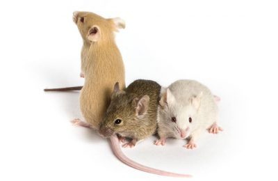 Rats Vs Mice As Pets For Online
