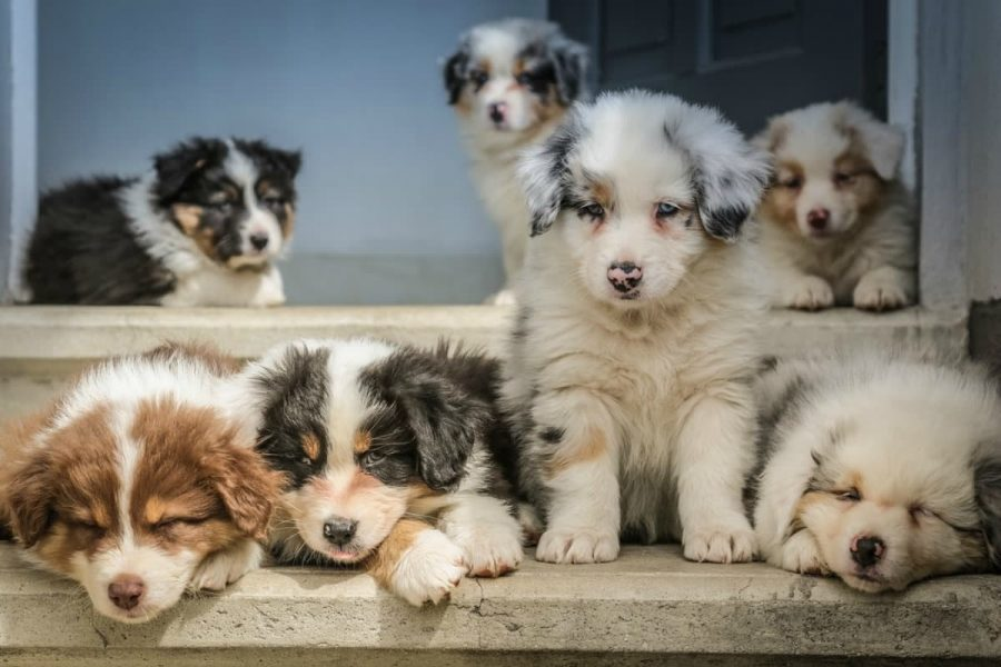 3 Tips for Choosing a Healthy Puppy